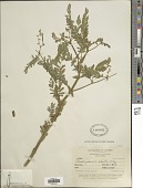 view Aeschynomene ciliata Vogel digital asset number 1