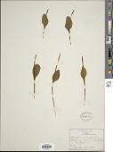 view Ophioglossum vulgatum var. pseudopodum (S.F. Blake) Farw. digital asset number 1