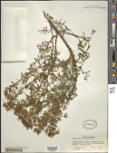 view Hypericum perforatum L. digital asset number 1