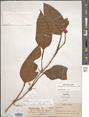 view Philodendron rigidifolium K. Krause in Engl. digital asset number 1