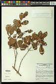 view Ruizterania albiflora (Warm.) Marc.-Berti digital asset number 1