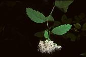 view Spiraea betulifolia Pall. digital asset number 1