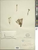 view Angianthus preissianus (Steetz) Benth. digital asset number 1