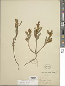 view Crotalaria mexicana Windler digital asset number 1