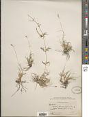 view Bouteloua dactyloides (Nutt.) Columbus digital asset number 1