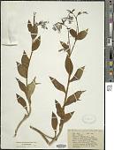 view Mertensia paniculata (Aiton) G. Don digital asset number 1