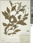 view Varronia leucomalloides (Taroda) J.S. Mill. digital asset number 1
