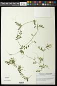 view Vicia sativa subsp. nigra (L.) Ehrh. digital asset number 1