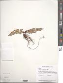 view Anthurium scandens (Aubl.) Engl. digital asset number 1