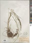 view Festuca subverticillata (Pers.) E.B. Alexeev digital asset number 1