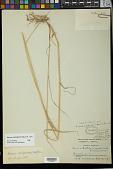 view Elymus antarcticus f. agroelymoides Hicken digital asset number 1