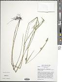 view Scleria reticularis Michx. digital asset number 1