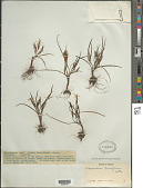 view Sisyrinchium tenuifolium Humb. & Bonpl. ex Willd. digital asset number 1