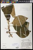 view Cyrtandra samoensis A. Gray digital asset number 1
