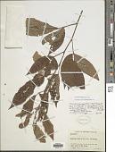 view Dendrolobium triangulare (Retz.) Schindl. digital asset number 1