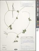 view Macroptilium gracile (Poepp. ex Benth.) Urb. digital asset number 1