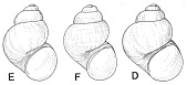 view Pyrgulopsis marcida digital asset number 1