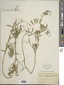 view Lathyrus lanszwertii Kellogg digital asset number 1