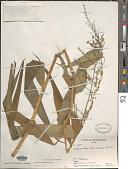 view Ichnanthus breviscrobs Döll in Mart. digital asset number 1