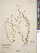 view Stellaria longifolia digital asset number 1