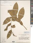 view Maianthemum racemosum subsp. amplexicaule (Nutt.) LaFrankie digital asset number 1