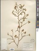 view Securidaca sylvestris Schltdl. digital asset number 1