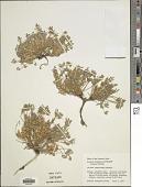 view Lupinus caespitosus Nutt. digital asset number 1