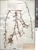 view Sageretia thea (Osbeck) M.C. Johnst. digital asset number 1