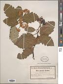 view Sorbus suecica (L.) Krok ex Hedl. digital asset number 1