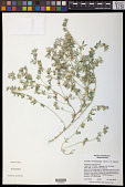 view Acmispon brachycarpus (Benth.) D.D. Sokoloff digital asset number 1