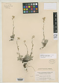 view Antennaria oblancifolia E.E. Nelson digital asset number 1