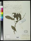 view Bennettiodendron brevipes Merr. digital asset number 1