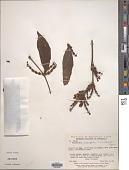 view Phoradendron piperoides (Kunth) Trel. digital asset number 1