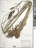 view Carex fecunda Steud. digital asset number 1