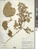 view Mikania steinbachii B.L. Rob. digital asset number 1
