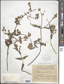 view Calea pinnatifida (Aiton) Banks ex Steud. digital asset number 1
