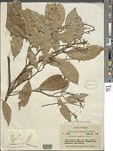 view Zollernia paraensis Huber digital asset number 1
