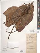 view Homalomena philippinensis Engl. digital asset number 1