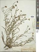 view Hemizonia congesta subsp. lutescens (Greene) Babc. & H.M. Hall digital asset number 1