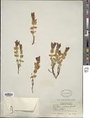 view Gentiana calycosa Griseb. digital asset number 1