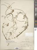 view Sarcostemma cynanchoides subsp. hartwegii (Vail) R.W. Holm digital asset number 1