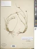 view Schoenoplectus purshianus (Fernald) M.T. Strong digital asset number 1
