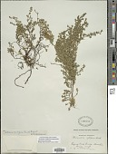 view Clinopodium nubigenum (Kunth) Kuntze digital asset number 1