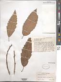 view Castanea mollissima Blume digital asset number 1