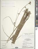 view Rhynchospora stenocarpa Kunth digital asset number 1