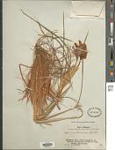 view Iris ventricosa Pall. digital asset number 1