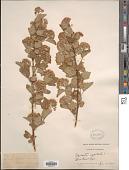 view Physocarpus capitatus (Pursh) Kuntze digital asset number 1