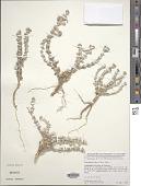 view Polycarpaea nivea (Aiton) Webb digital asset number 1