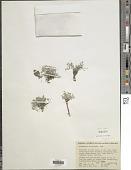 view Astragalus platytropis A. Gray digital asset number 1