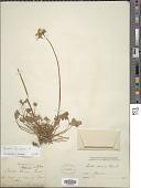 view Oxalis pes-caprae L. digital asset number 1